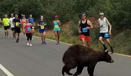 棕熊参加美国马拉松 棕熊路过众神花园慢跑大赛