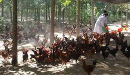 京东高价收购跑步鸡 刘强东晾晒一百万步跑步鸡